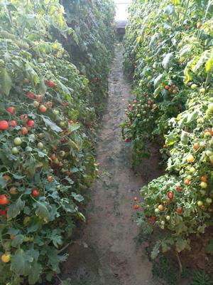 河南省商丘市民权县千禧西红柿 通货 弧二以上 硬粉