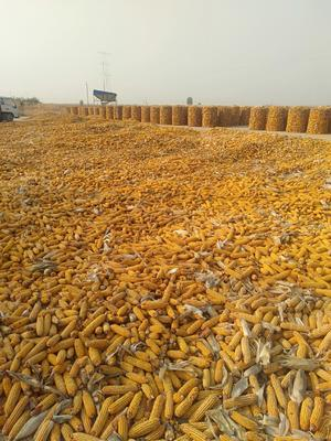 河北省衡水市冀州市玉米湿粮杂质很少 霉变≤2%
