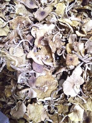 江西省抚州市广昌县茶树菇 散装 1年