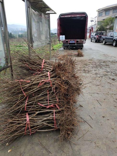 炎陵黄桃苗 1~1.5米