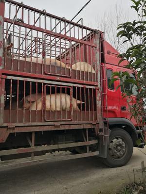 这是一张关于土杂猪 300斤以上 的产品图片