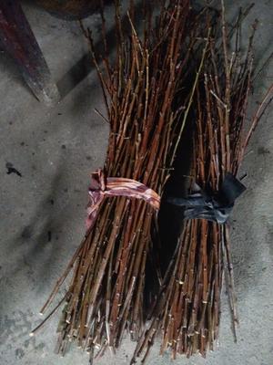 这是一张关于李子枝条 30~35cm 的产品图片