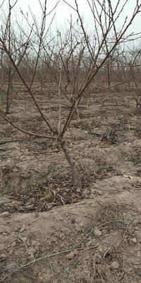 这是一张关于嫁接桃树苗 2.5~3米 的产品图片
