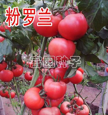 这是一张关于粉罗兰番茄种子 ≥99.9% 杂交种 ≥95% 的产品图片