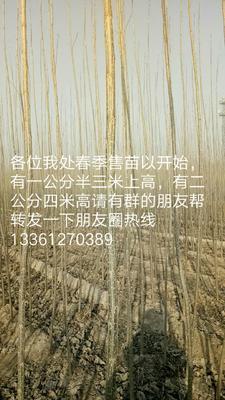 这是一张关于107杨 的产品图片
