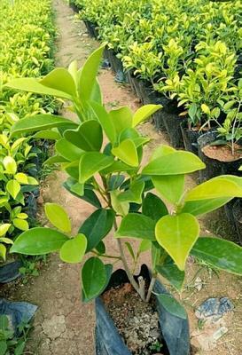 这是一张关于 小叶榕 的产品图片