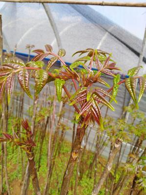 这是一张关于红油香椿芽 9~12cm 的产品图片