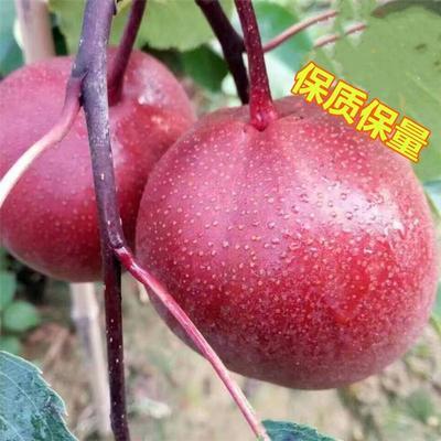 山东省临沂市平邑县奥红一号红梨苗 1~1.5米