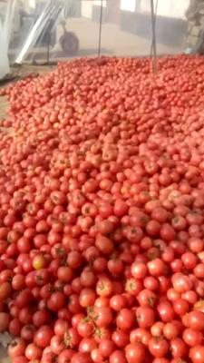 这是一张关于硬粉番茄 精品 弧二以上 大红 的产品图片