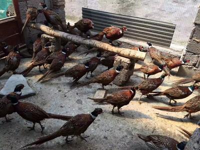 这是一张关于野山鸡 2-3斤 的产品图片