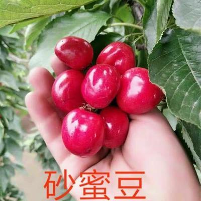 这是一张关于砂蜜豆樱桃苗 的产品图片