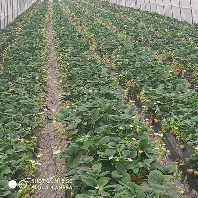 四川省成都市彭州市红颜草莓苗 地栽苗 10~20公分
