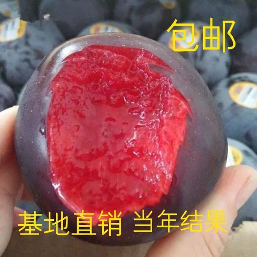 黑巨王李苗 果大,醇甜 耐寒耐旱