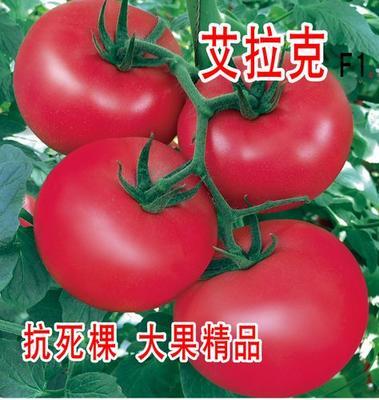这是一张关于艾拉克番茄种子 ≥99.9% 杂交种 ≥95% 的产品图片