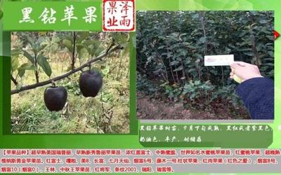 山东省临沂市平邑县黑苹果树苗 1~1.5米