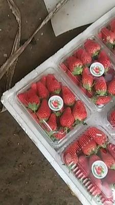 山东省济南市历城区甜宝草莓 40克以上