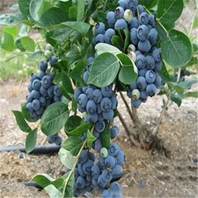 山东省泰安市岱岳区喜来蓝莓苗