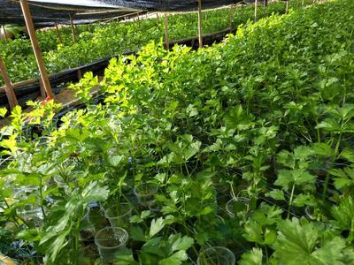 福建省龙岩市永定县西芹 40cm以下 0.5斤以下 大棚种植