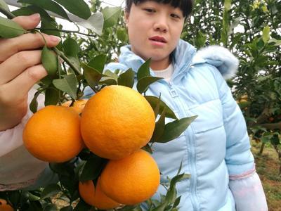 湖南省常德市临澧县大雅柑苗 杂交苗 0.55米