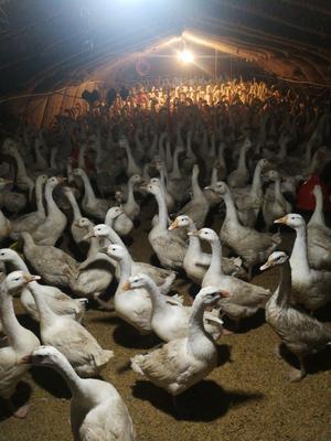 这是一张关于大白鹅 6-8斤 统货 半圈养半散养 的产品图片