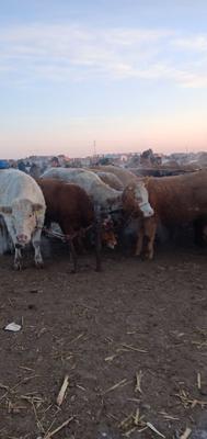 这是一张关于肉牛 800-1000斤 母牛 的产品图片