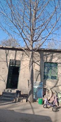 山东省泰安市东平县银杏实生树