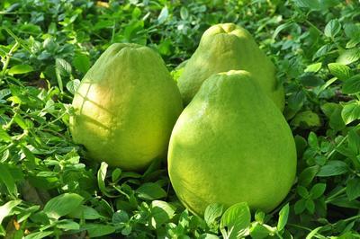 这是一张关于江永香柚 1斤以上 的产品图片