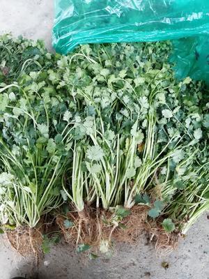 山东省聊城市莘县铁杆青香菜 25~30cm