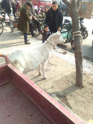 这是一张关于土山羊 80-110斤 的产品图片