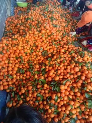 广西壮族自治区沙糖桔 统货 1两以下