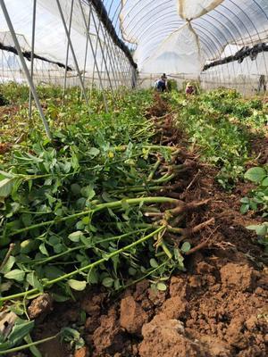 这是一张关于玫瑰苗 地栽苗 的产品图片