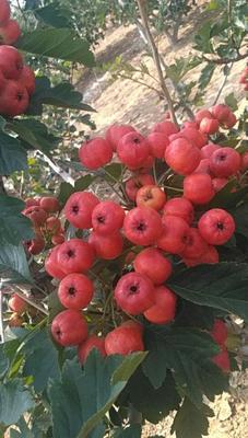 这是一张关于山楂种子 的产品图片
