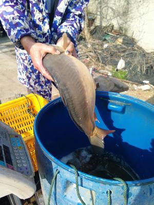 这是一张关于裸鲤 人工养殖 0.25-1公斤 的产品图片