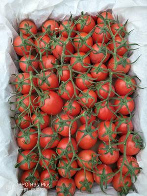 山东省滨州市博兴县罗曼西红柿 通货 弧一以下 硬粉