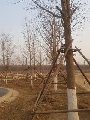 河北省保定市徐水县古银杏树
