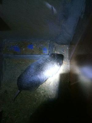 这是一张关于竹鼠 1-2斤 的产品图片