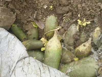 陕西省西安市户县水果萝卜 2~2.5斤