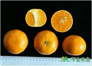 四川省成都市金堂县091无核沃柑苗 杯苗袋苗 0.35~0.5米