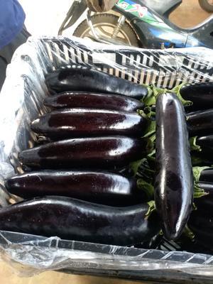这是一张关于黑长茄 20~30cm 长茄 的产品图片