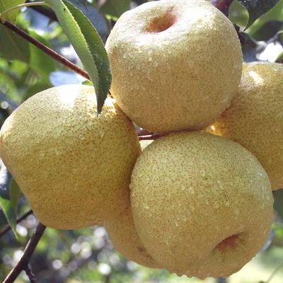 这是一张关于翠冠梨苗 1~1.5米 的产品图片