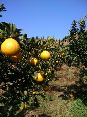 这是一张关于桔柚 1斤以上 的产品图片