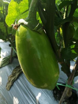 这是一张关于紫长茄 混装通货 长茄 的产品图片