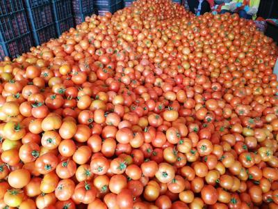 广西壮族自治区百色市田阳县硬粉番茄 精品 弧三以上 大红