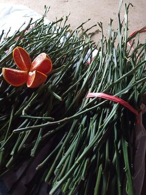 这是一张关于塔罗科血橙枝条 30~35cm 的产品图片