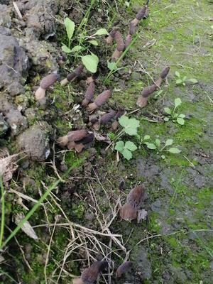 这是一张关于羊肚菌 鲜货 3cm~6cm 尖顶 灰黑色 人工种植 的产品图片
