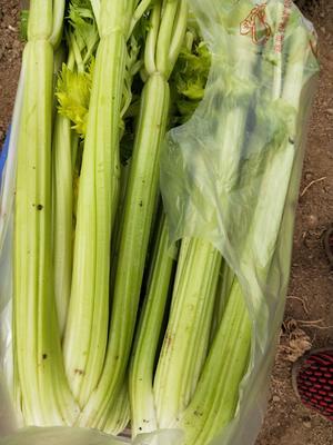 这是一张关于西芹 50~55cm 1.0~1.5斤 露天种植 的产品图片