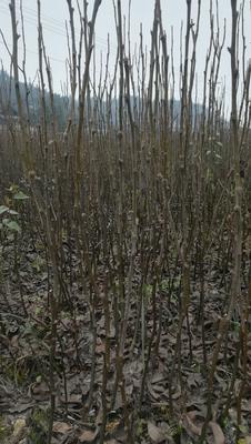 这是一张关于金秋梨苗 0.5~1米 的产品图片