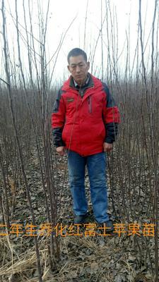陕西省渭南市蒲城县红富士苹果苗 2.0~2.5米