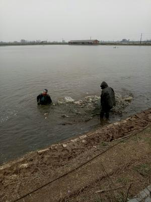 这是一张关于池塘草鱼 人工养殖 1.5-3.5公斤 的产品图片