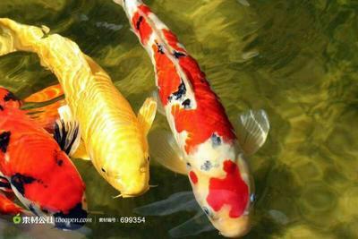 这是一张关于红白锦鲤 0.1公斤 的产品图片